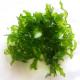 Monosolenium tenerum ( Pelia )