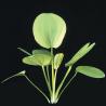 Echinodorus cordifolius