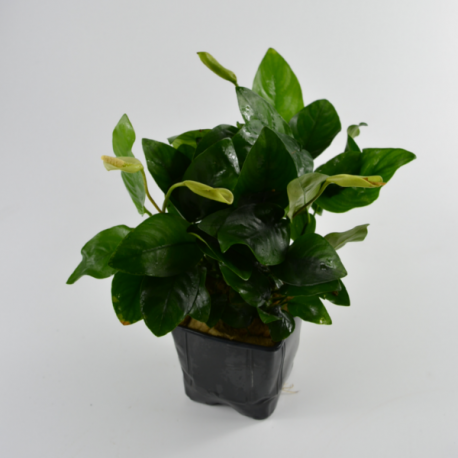 Anubias nana - Planta Mãe