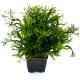 Microsorium pteropus -Planta mãe