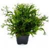 "Microsorium pteropus "" Windelov""-Planta mãe"